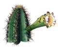 Pilosocereus arrabidae - The Cactaceae2.png