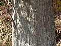 Pin Oak (30755956030).jpg