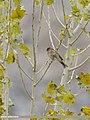 Pine Bunting (Emberiza leucocephalos) (33035241278).jpg