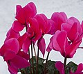 Pink Cyclamen (4200359270).jpg