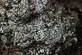 Pink Earth Lichen - Dibaeis baeomyces (43752462594).jpg