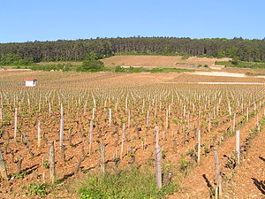Pinot noir - Pinot noir vines at Clos de Bèze, Gevrey-Chambertin, on Burgundy's Côte d'Or