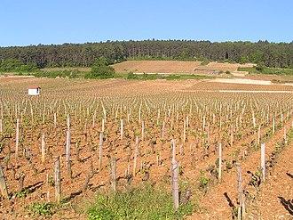 Pinot noir - Pinot noir vines at Clos de Bèze, Gevrey-Chambertin, on Burgundy's Côte d'Or