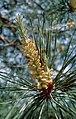 PinusSylvestrisKiev.jpg