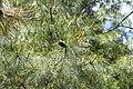Pinus armandii foliage 2.JPG