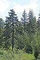 Pinus nigra - Karaçam 01.jpg