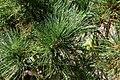 Pinus strobus Bloomers Dark Globe 1zz.jpg