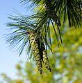 Pinus strobus cones Maryland 1.jpg