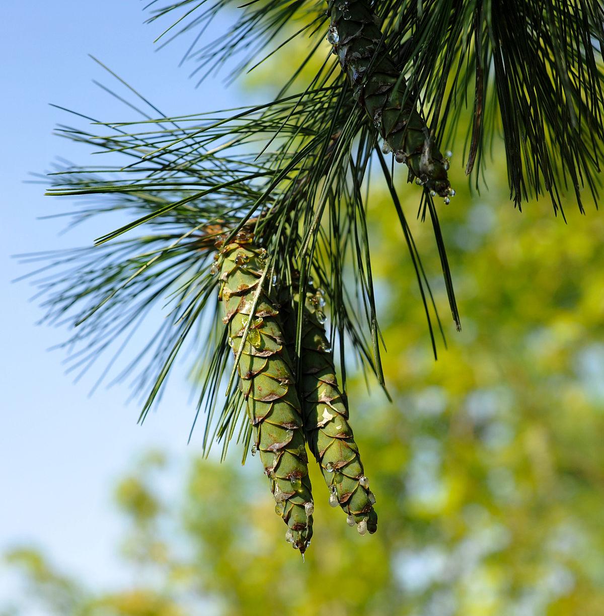 pine tree state arboretum