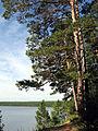 Pinus sylvestris mongolica Lake Arey 3.jpg