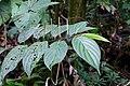 Piper musteum ? (Piperaceae) (29820141041).jpg