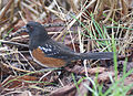 Pipilo maculatus -Reifel Island, Vancouver, Canada -side-8.jpg