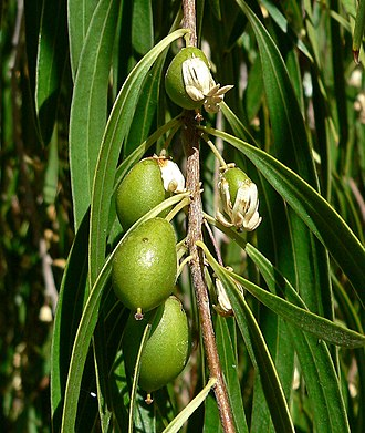 Pittosporum - Fruiting branch of weeping pittosporum (Pittosporum phillyreoides)