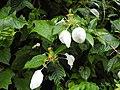 Plant Mussaenda frondosa DSCN9060.jpg