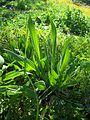 Plantago lanceolata-1.jpg