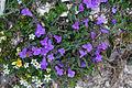 Plants from Vallon peaks Sella 23.jpg