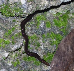 Platydemus manokwari - Platydemus manokwari, invasive in Florida, USA