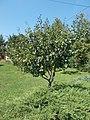 Plum tree, 2020 Marcali.jpg