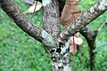 Plumeria rubra 21zz.jpg