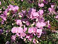 Podalyria calyptrata - Waterblossompea Tree - Cape Town.jpg
