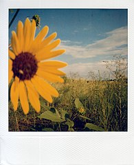 A sunflower shot on slightly expired Polaroid 600 film, with a 600 camera.
