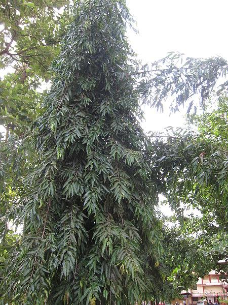 പ്രമാണം:Polyalthia longifolia - അരണമരം 02.JPG