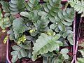 Polypodium scouleri - Flickr - peganum.jpg