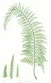 Polystichum setiferum Moore12.png