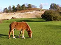 Pony grazing, near Moyles Court, New Forest - geograph.org.uk - 312857.jpg