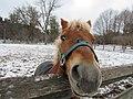 Poomba- Sunnybrook Pony.jpg