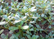 Common purslane from Wikipedia