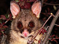 Possum brushtail5.jpg