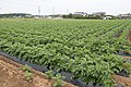 Potato field in Kashima, Ibaraki 01.jpg