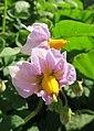 Potato flowers (18957101115).jpg