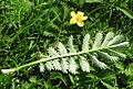 Potentilla anserina leaf.jpg