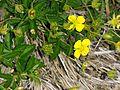 Potentilla erecta (15449694326).jpg