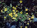 Potentilla heptaphylla1 eF.jpg