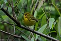 Prairie Warbler (male) Fall Out Sabine Woods TX 2018-04-08 08-58-57 (40771991014).jpg