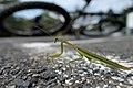 Praying Mantis カマキリ (228861537).jpeg