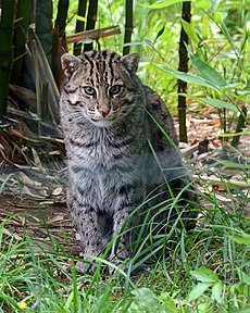 Prionailurus viverrinus Fishing cat Pont-Scorff Zoo 17082015 2.jpg