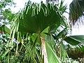 Pritchardia schattaueri (5250311588).jpg