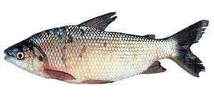 Prochilodus lineatus - Image: Prochilodus lineatus