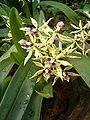 Prosthechea cochleata Encyclia cochleata OrchidsBln0906b.JPG