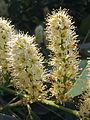 Prunus laurocerasus à Grez-Doiceau 003.jpg