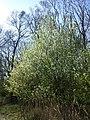 Prunus mahaleb sl27.jpg