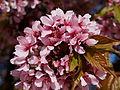 Prunus serrulata Hisakura JdP 2013-04-21.jpg