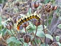 Psilogaster loti caterpillar 02.jpg