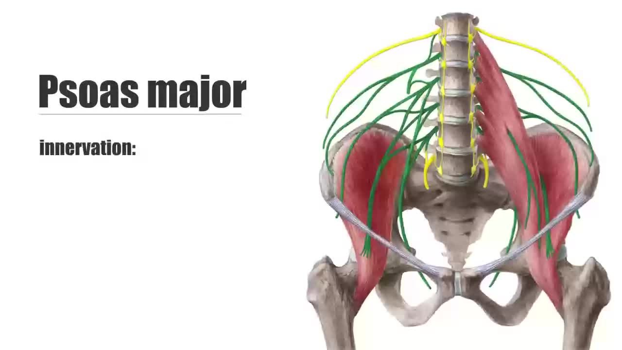 file:psoas major muscle - origin, insertion, innervation & action, Muscles