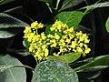 Psychotria capensis - Jardin Botanique de Lyon - DSC05344.JPG