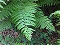 Pteridium aquilinum 3 - Putney Heath Common 2011.08.02.jpg